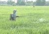 PS Hệ lụy từ việc sử dụng thuốc bảo vệ thực vật tràn lan không theo hướng dẫn