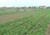PS Sắc xuân trên những cánh đồng màu