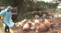 9 huyện, thành phố trên địa bàn tỉnh đã xuất hiện bệnh dịch tả lợn Châu Phi.