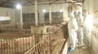 Đồng chí Nguyễn Phùng Hoan - Phó Chủ tịch UBND tỉnh kiểm tra tình hình tái đàn lợn và công tác quản lý của các huyện Trực Ninh, Giao Thủy và Hải Hậu.