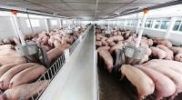 Giá lợn hơi hôm nay 5/8: Cả 3 miền giảm nhẹ từ 1.000 - 2.000 đồng/kg