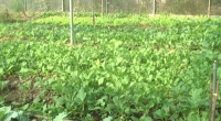Huyện Vụ Bản xây dựng mô hình trồng rau an toàn
