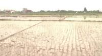 Huyện Xuân Trường cơ bản hoàn thành gieo cấy lúa mùa theo đúng lịch thời vụ.