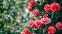 Vé vào cửa lễ hội hoa hồng: 120.000 đồng/người