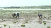 Xã Nghĩa Lạc, huyện Nghĩa Hưng gieo cấy lúa xuân năm 2017.