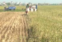 Các huyện và thành phố Nam Định đang khẩn trương thu hoạch lúa xuân, đồng thời tiến hành công tác chuẩn bị cho sản xuất  vụ mùa 2018.