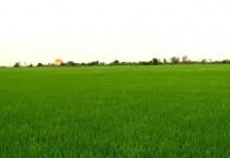 Quy hoạch và xây dựng cánh đồng lớn sản xuất nông nghiệp hàng hóa tập trung