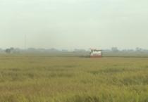 Toàn tỉnh thu hoạch lúa Xuân